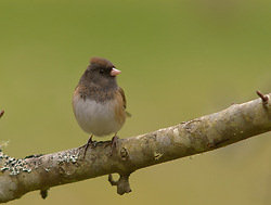 Junco - Cortes Island Junco photo