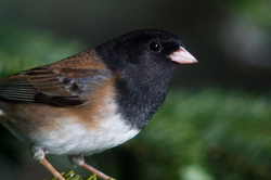 Junco Hyemalis Portrait - Cortes Island Junco photo