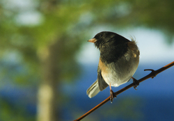 Look Right - Cortes Island Junco photo