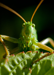 I Spy A Katydid -  Katydid photo