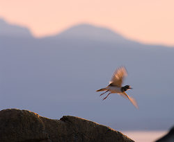 Take Off - Cortes Island Killdeer photo