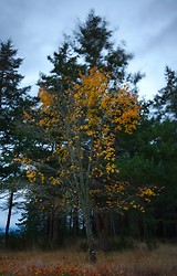 Maple in the Wind - Cortes Island  photo