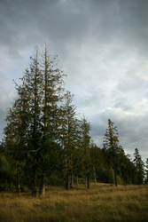 Landscape of Red Cedars - Cortes Island  photo