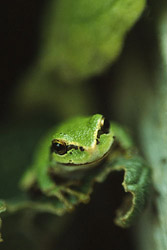 Golden Eyed Tree Frog - Golden Eyed Tree Frog photo from  Lasqueti Island Canada