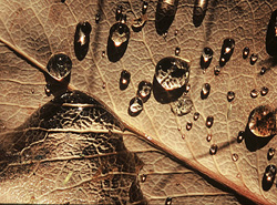 Droplets on a Dry Salal Leaf - Cortes Island Leaf photo