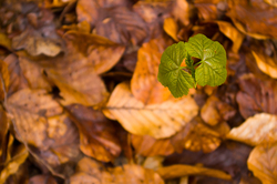 New Life - Aillevillers Maple Tree photo