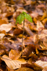 New Arrival - Aillevillers Maple Tree photo