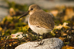 Calidris Alpina -  Dunlin photo