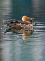 Lophodytes Cucullatus -  Merganser photo