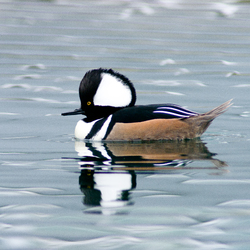 Hooded Merganser Portrait -  Merganser photo