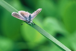 Blue Azure ~ Butterfly picture from Mitlenatch Island Canada.