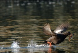 A Pigeon Guillemot Taking Off with a Fish -  Guillemot photo