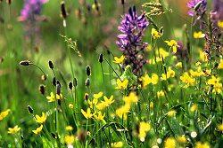 Mitlenatch Wildflowers ~ Wildflower picture from Mitlenatch Island Canada.