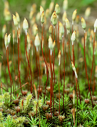 Moss Flowers - Cortes Island Mosses and Lichens photo