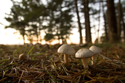 Three White Mushrooms - cortes Island Mushroom photo