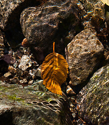 Leaf on Creek Bottom - Mainland Nature Still Life photo