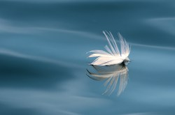 Floating Seagull Feather - Mitlenatch Island Nature Still Life photo