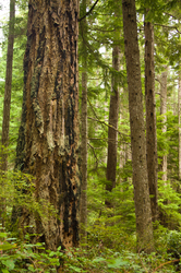 Ancient One - Cortes Island Old Growth Forest photo