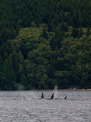 Orca Pod - Johnstone Strait Orca photo