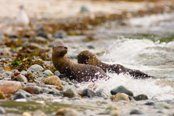 Northern River Otters - Cortes Island Otter photo