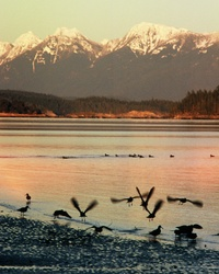 Oystercatcher Takeoff - Cortes Island Oystercatcher photo