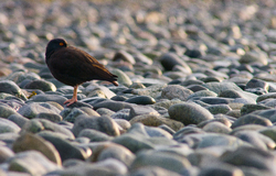 Black Oystercatcher - Cortes Island Oystercatcher photo