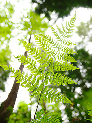 Looking Up at a Little Wood Fern ~ Fern picture from Pacific Spirit Park Canada.