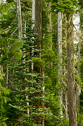 Alpine Forest - Forest photo from  Paradise Meadows British Columbia, Canada