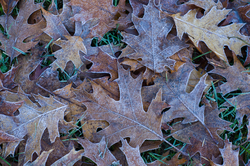 Frosty Oak Leaves - Cortes Island Pattern photo