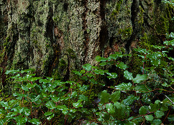 The Base of the Tree - Cortes Island  photo