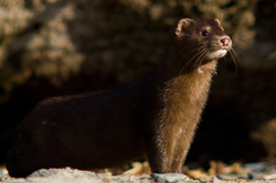 Mink ~ Weasel picture from Quadra Island Canada.