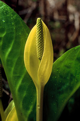 Skunk Cabbage ~ Wildflower picture from Quadra Island Canada.