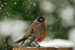 Robin in Falling Snow ~ Robin picture from Cortes Island Canada.