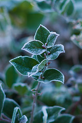 Salal in Winter - Cortes Island Salal photo