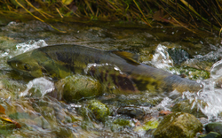 Chum Salmon - Cortes Island Salmon photo