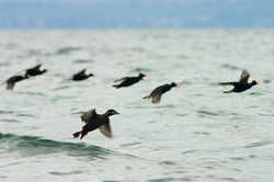 Surf Scoters Landing - Salish Sea Scoter photo