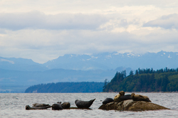 Harbour Seals - Cortes Island Seal photo