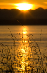 Grass in Golden Light - Cortes Island Silhouette photo