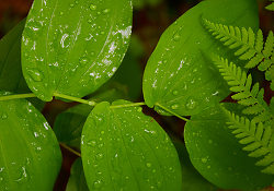 Rain on Leaves -   photo