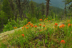 Indian Paintbrush -  Wildflower photo