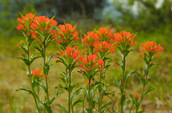 Indian Paintbrush II -  Wildflower photo