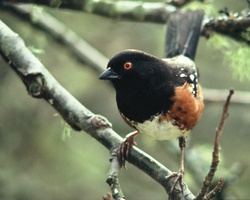 Spotted Towhee Portrait - Cortes Island Sparrow photo