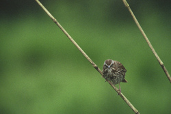 Inspector Song Sparrow - Cortes Island Sparrow photo