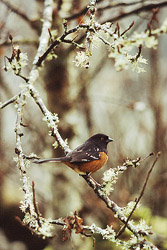 Spotted Towhee - Cortes Island Sparrow photo