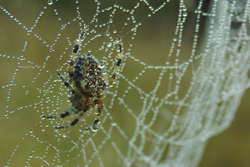 Web of Pearls - Cortes Island Spider photo