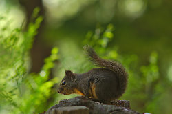 Douglas Squirrel - Lund Squirrel photo