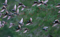 European Starling in Flight - Cortes Island Starling photo
