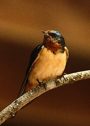 Barn Swallow - Cortes Island Swallow photo