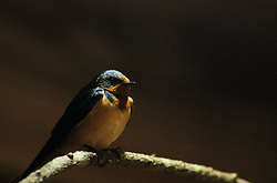 Barn Swallow -  Swallow photo