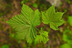 Spring Thimble Berry Leaves -  Thimble Berry photo